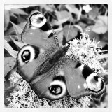 Butterfly in black and white.