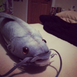 Plush #catfish I bought for a #sketch, #chicago #comedy #funny #humor #fish #lol #ridiculous #toys #stuffedanimals