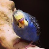 Lovely close up of pretty blue and yellow bird