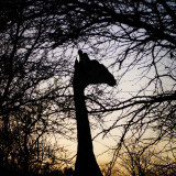 Giraffe at sunset in the Kruger park.