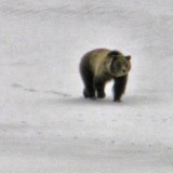#grizzly #grizzlies #grizzly610 #grizzlybear #grizzlybears #grandtetonnationalpark #wy #wyoming #wildlife #april2013