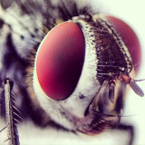 Eyes of a fly closeup
