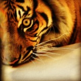 #tiger #eye #roar #taronga #zoo #sydney #closeup #safari #royalty #stripes #rare #whiskers #orange