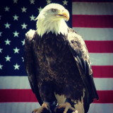 Bald Eagle in front of the American flag
