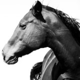 Black horse with a white background arching her neck.