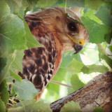 Beautiful Red-shouldered Hawk. I saw him flying and land in the tree and then really had to hunt to find him. I was able to snap two quick photos before he took off again. #hawk #redshoulderedhawk #bird #birds #birding #birder #birdsofinstagram #birds_of_instagram #whatschirping #birdwatching  #bird_watchers #animals #wildlife #nature #creation #creatures #godscreatures #godscreation #birdlovers #wildbirds #birdfreaks #nikon #birdpics #nuts_about_birds  #animal_magazine #birds_n_branches #phototerminal