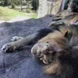 lion is resting in the texas summer heat