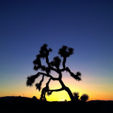 Sunset with Joshua tree