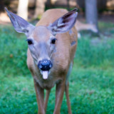 Rude deer #animal #deer #doe #mammal #tongue #rude #cute #upstate #newyork #sony #a77 #35mm #alpha