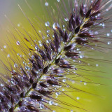 Grass weed with water droplets in my garden, canon macro lens 100mm