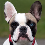 A Frenchie Fan who was on last weeks Regent's Park Frenchie walk just emailed Dad this photo of me! Really love it! I'll post some contact details soon as they are thinking of setting up a studio and looking to photograph pups!!