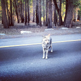 Hanging out with one of my best friends - #yosemite #wolf #wolves #beautiful #white #dog #animals #hungry #family #alone