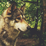 This is a real wolf.