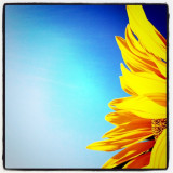 #natura #sunflower #nature #sun #sole #sky #cielo #yellow #girasole #flower #iphone #giallo #statigram #fiore #iphoneograohy #iphone4s #ink361 #summer #dream #beauty