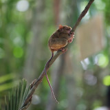 Let Me Take You to Bohol:  The Philippine Tarsier It's not a monkey. Nope, not a rat either. It's called a tarsier. I'm not really sure how to classify it but definitely this