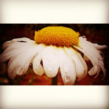 morning daisy.  I was invited by good friend Ig friend @klaidi_r to the #5shotchallenge with the theme #flower which I have been enjoying tremendously, so thank you. I would like to invite @blkmgk2 if she would like with the theme #sky