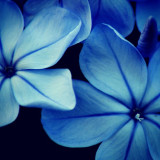 blue flowers macro closeup