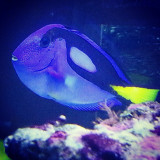 This glowing blue guy was SOoo shy and nervous in the dentist's fish tank! I could barely get this one using my phone!  #fish