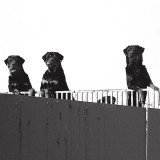 Funny animals - Three fierce rottweilers and a shy one behind a fence.