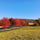 10/30/13. Gorgeous warm Autumn afternoon for a drive in the Blue Ridge mountain country of western Loudoun Co, VA. Lots of great views like this one. Finally starting to see just a little more color like these brilliant red maples lining a fence along a road leading up to Short Hill Mountain on its west side. #fall #fallcolor #falltime #autumn #autumncolor #va #nova #virginia #blueridgemountains #blueridgemountainsva #blueridgemountainsvafall #westernloudoun #instaphoto #instagreat #fence #fencepost #fenc