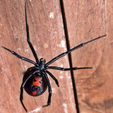 Black Widow Spider.  I found here while working in the garden reporting some conifers.  She wasn't happy to be disturbed but did finally pose for me to get a shot of her belly.  I was using a small stick.  After her photo shoot I took her to a safe place away from my house and people.  She'll probably find a Better home there.  #spider #creepy #blackwidow #nature #insects #bugs #arachnid #va #nova #virginia #westernloudoun #blueridgemountains #blueridgemountsinsva #poisonous