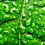 Rainy # cool Sunday morning in Western Loudoun Co., VA. It's more like early September / early October than the middle of August.  Only going up to 65 today.  I just happened to like how the water droplets looked sitting on this vibrant green leaf of my Buddha Belly plant.  #rain #rainyday #leaf #wet #westernloudoun #virginia #va #weather #nature #nova #blueridgemountainsva #pvillegazette #igers_virginia #jj_virginia