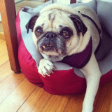 Penny P. someone needs this girl as their very own fan club. She will devote herself to her one and only human, as long as she is their one and only pet. Contact Pug Rescue of New Englad and put in your app. #pug #penny #prone #rescue #foster #snaggletooth #pennycan