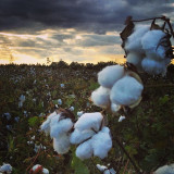 Outside of Perry Ga. Beautiful cotton field at sunset.