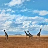 A tower of giraffes strolls beneath the snow-capped peak of Mt Kilimanjaro. Amboseli National Park, Kenya.