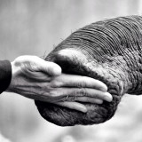 Hand touching elephant's trunk