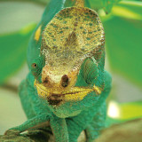 Close encounter with a Panther Chameleon (Furcifer Pardalis) in the eastern of Madagascar.