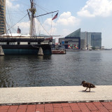 A duck taking a stroll with the USS Constellation and National Aquarium in the background at Baltimore's Inner Harbor.