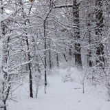 Bare trees covered by snow