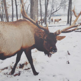 Close up of deer in snowy land