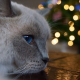 A cat laying on a coffee table with Christmas lights blurred in the background.