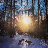 Sunbeams through the trees in the forest and dogs playing