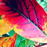Extreme close up of multicolor leaf