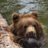 Alaska Wildlife Rescue Center, brown bear