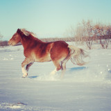 Close up of running horse on snow