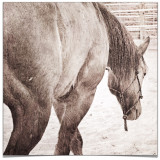 Beautiful sketch of domestic horse