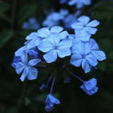 Close up of blue Plumbago flowers