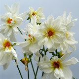 White flowers against plain background
