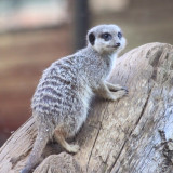 Kirby photography pic of the day! #meerkat #market #simples #baby #cute #tree #climbing #sexy