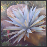 This agave plant was photographed at the Desert Botanical Garden in Phoenix, Arizona.  It was painted in a photo shop program to achieve this soft painted result.