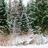 Fir tree in snowy wood