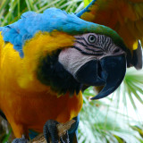 This is Harley the harlequin macaw that lives at Gatorland, Orlando, Florida. He has a reputation for loving women and men's fingers...