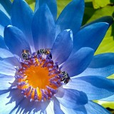 Extreme close-up of a blue flower with bees