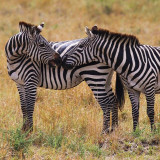 Two zebras in the Maasai Mara, Kenya