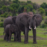A mother elephant protects her family in Uganda.