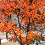 Autumn tree with fruits